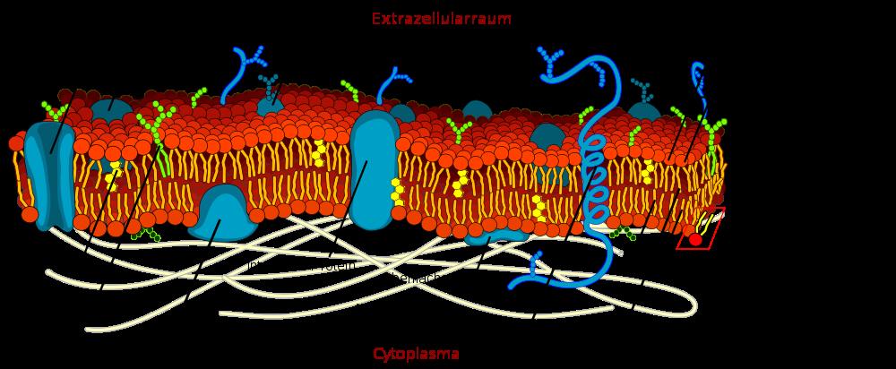 aufbau von Zellmembranen